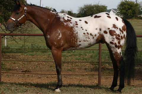 Appaloosa Horses Profile