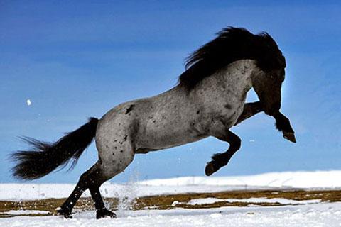 Icelandic Horse Profile