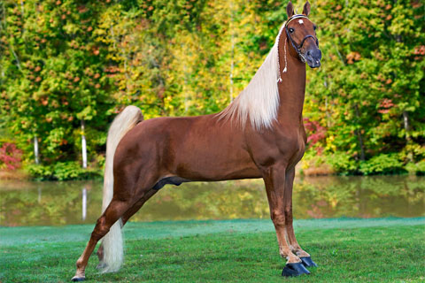 Tennessee Walking Horse Profile
